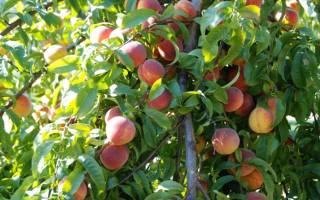 Как обрезать на зиму персик
