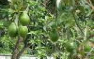 Как выглядит авокадо дерево