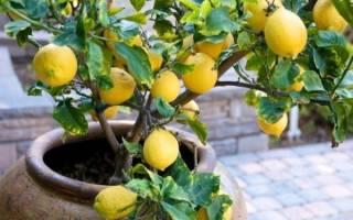 Как из косточки вырастить лимон