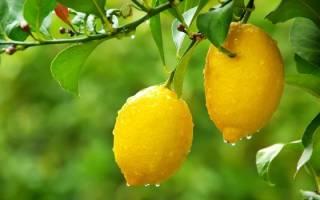 Как вырастить в домашних условиях лимонное дерево
