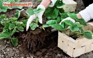 Как правильно осенью пересаживать клубнику
