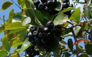 Как вырастить рябину черноплодную
