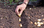 Как правильно садить севок под зиму