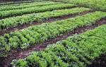 Зачем надо засевать осенью участок земли рожью