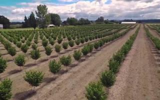 Как выращивать дерево фундук
