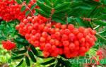 Как вырастить красную рябину из семян