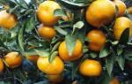 Как заставить плодоносить мандарин в домашних условиях
