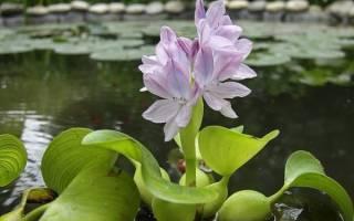 Как зимует водный гиацинт