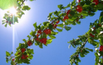 Как подкормить вишню чтобы плодоносила