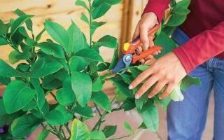 Как обрезать лимонное дерево в домашних условиях