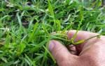Как избавиться на газоне от сорняков