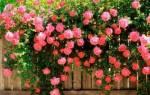 Как правильно сажать плетистую розу осенью
