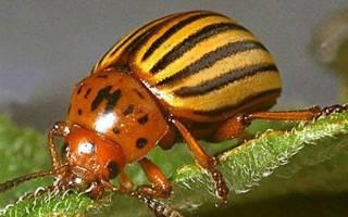 Как избавиться от жука колорадского