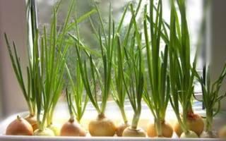 Как в домашних условиях вырастить лук