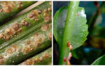 Как вывести с комнатных растений щитовку