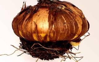Как выкапывать луковицы гладиолусов
