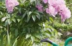 Как правильно пересадить пионы осенью и чем подкормить