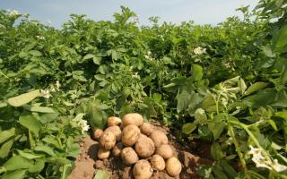 Затраты на выращивание картофеля на 1 га