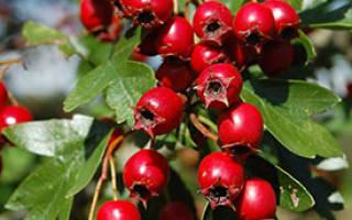 Как можно использовать ягоды боярышника