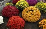 Как зимуют хризантемы в саду