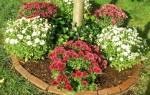 Как правильно укрывать хризантемы на зиму