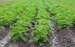 Как выкопать картошку если идут дожди
