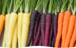 Как вырастить семена моркови