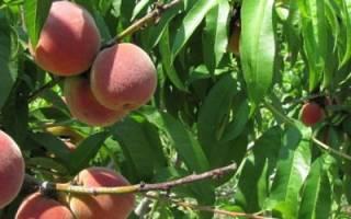 Как правильно сажать персик осенью