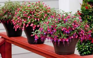 Как вырастить фуксию из семян