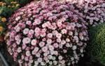 Как правильно сажать хризантемы осенью
