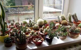 Как поливать кактус правильно