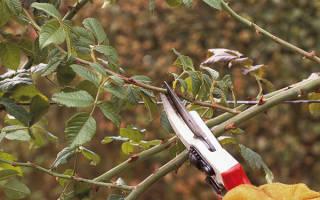 Как обрезать розы осенью в сибири