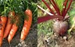 Как правильно обрезать морковь и свеклу на хранение на зиму