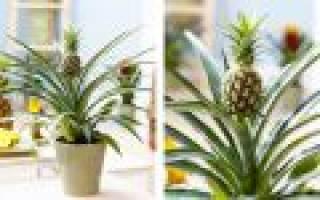 Как вырастить ананас из ананаса