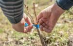 Как привить персик на персик