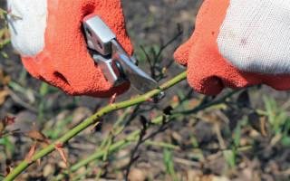 Как обрезать розы осенью схема