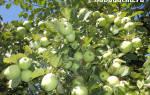 Как опрыскивать деревья мочевиной