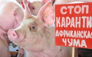 Как определить чумку у свиней