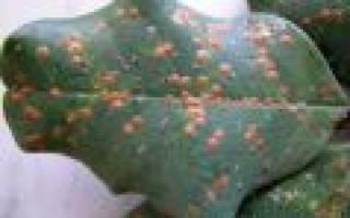 Как выглядит щитовка на комнатных растениях