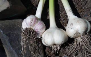 Как выращивать озимый чеснок