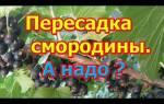 Как пересадить куст смородины осенью на новое место