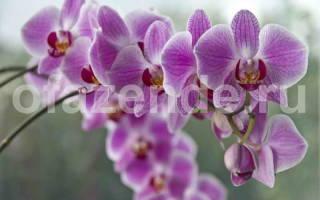 Как заставить зацвести орхидею фаленопсис