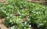 Как быстро вырастить сельдерей