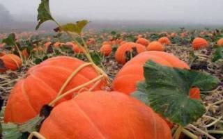Как повысить урожайность тыквы