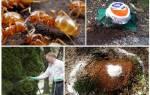 Как избавиться от муравьев желтых