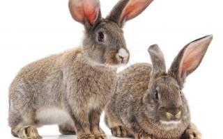 Болячки на ушах и глазах у кроликов