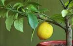 Как выглядит дерево лимона