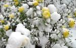 Как готовить хризантемы к зиме