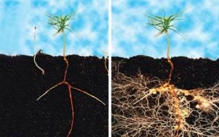 Заростки каких растений образуют микоризу с грибами почвы