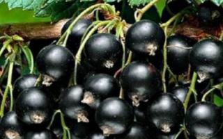Как пересаживать черную смородину